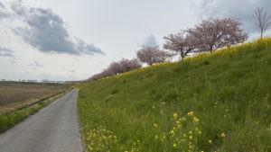 2020/04/17 思川桜